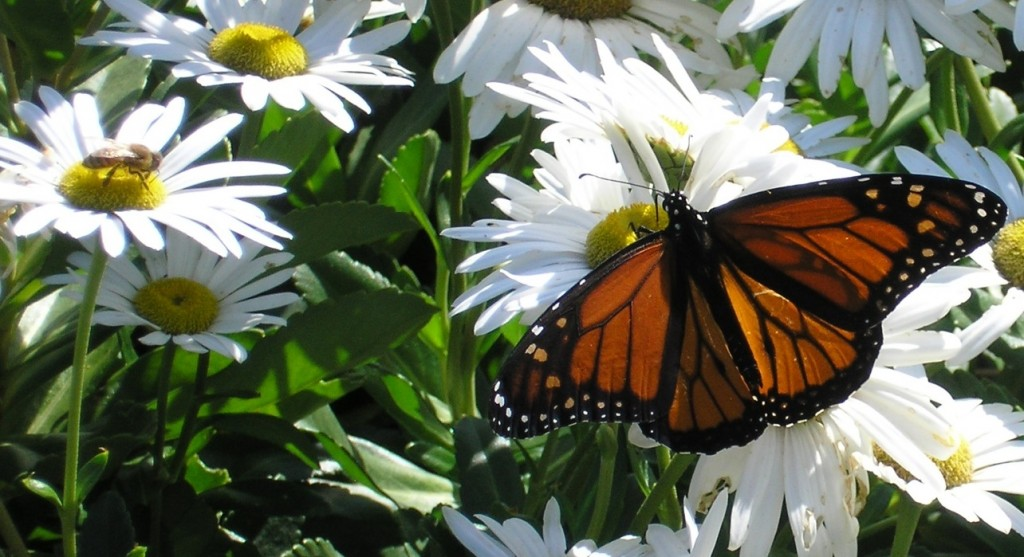 http://blossommeadow.com/about/monarchs/