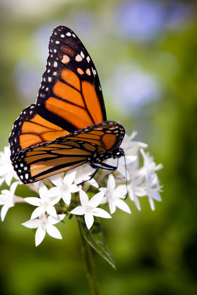 help save the monarch butterfly