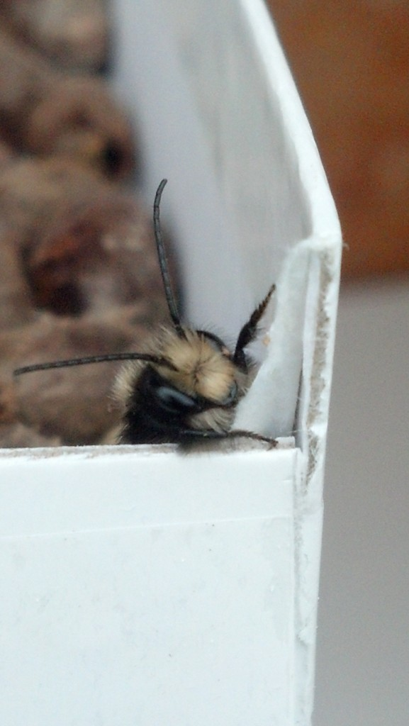 Male Mason Bee, Newly Emerged from a Cocoon