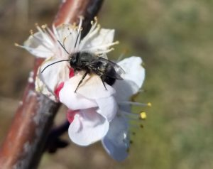 Male Mason Bee on an Apricot Flower